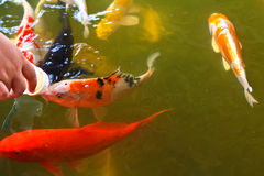 Feeding food for colorful Kois or carps Stock Photo