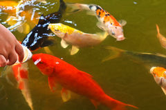 Feeding food for colorful Kois or carps Royalty Free Stock Photos