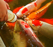 Feeding food for colorful Kois or carps Stock Photos