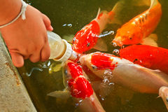 Feeding food for colorful Kois or carps Royalty Free Stock Image