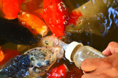 Feeding food for colorful Kois or carps Stock Image