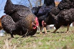 Feeding the freerange chickens Stock Image