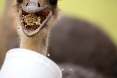 Feeding Frenzy. This is a photograph of an ostrich being fed at a petting zoo in in Virginia Stock Photo