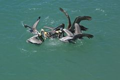 Feeding Frenzy Royalty Free Stock Photography