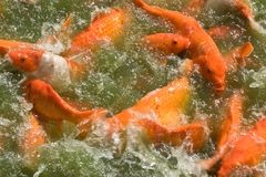 Feeding Frenzy 6. Photo of some Japanese Koi amidst a feeding frenzy Royalty Free Stock Image