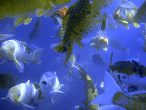 Feeding Frenzy. Underwater photograph of a swarm of Bream, Koi, Catfish, and Bass.  In some shots there are so many of them that you can hardly see through the Stock Photography