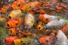 Feeding frenzy featuring a brilliant mixture of colors. stock photo