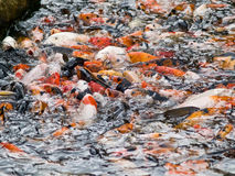 Feeding Frenzy. Group of Japanese Carps feeding on pellets Stock Photos