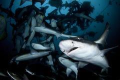 Close up photo of banded hound shark in feeding frenzy. Feeding frenzy with hundreds of sharks royalty free stock image