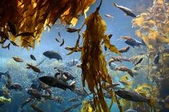 Feeding frenzy in kelp forest stock photography