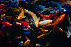 Feeding frenzy of ornamental koi fish in a pond. Feeding frenzy of ornamental koi fish, a species of carp, swimming in a pond bred as domestic pets for their Royalty Free Stock Photos