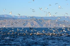 Feeding Frenzy at Sea off California Coast with Sea Birds and Do royalty free stock images