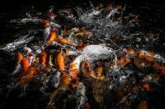 Feeding frenzy. A shot of koi fish at a pond during feeding Stock Image
