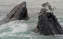 Feeding Frenzy. Two female whales trying to get some lunch Royalty Free Stock Images