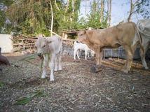 Feeding grass to white calf in the farm. royalty free stock photo