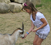 Feeding friendly goat Royalty Free Stock Image