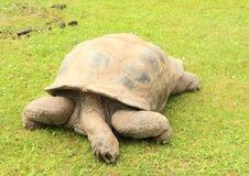 Feeding Galápagos tortoise. Big Galápagos tortoise - Chelonoidis nigra feeding on the green grass Stock Image