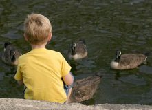 Feeding The Geese. A little boy feeding geese Royalty Free Stock Photos