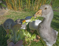 Feeding geese Royalty Free Stock Photo