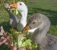 Feeding geese Royalty Free Stock Image