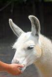 Feeding a gentle Llama Royalty Free Stock Image
