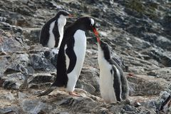 Feeding Gentoo Penguins Royalty Free Stock Image