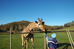 Feeding The Giraffe Stock Images