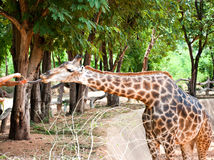 Feeding a giraffe Royalty Free Stock Photography