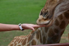 Feeding giraffe detail Royalty Free Stock Photos