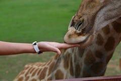 Feeding giraffe detail. Female hand giving food to giraffe - detail Royalty Free Stock Photos