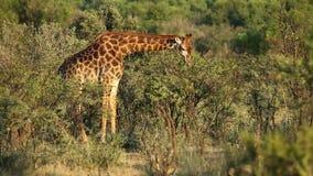 Feeding giraffe stock footage