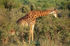 Feeding giraffe Stock Photo