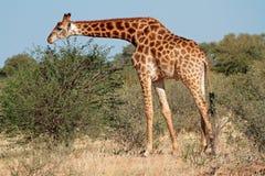 Feeding giraffe Royalty Free Stock Photo
