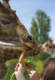 Feeding a giraffe in safari park. People`s hands reaching out fruits and vegitables for a giraffe to eat in safari park royalty free stock photography