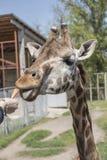 Feeding giraffe sweet carrots Stock Photo