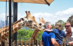 Feeding giraffe in Taronga Zoo, Sydney, Australia. This is a popular activity for family with kids whereby kids can feed the large giraffe under the supervision Royalty Free Stock Photos