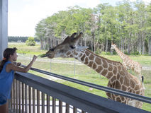 Feeding the giraffe stock photos