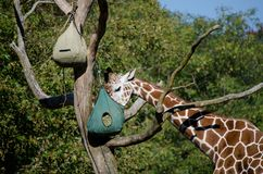 Feeding giraffe in  a zoo Stock Image