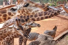 Feeding Giraffe Stock Images