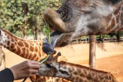 Feeding Giraffe Royalty Free Stock Photography