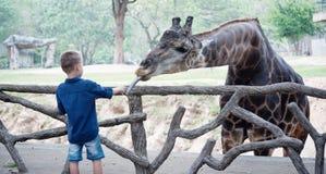 Feeding giraffe in zoo. Boy feeding giraffe in the Zoo royalty free stock photo