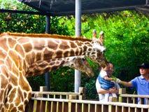Feeding giraffes Stock Photos