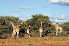 Feeding giraffes stock images