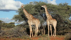 Feeding giraffes stock video footage