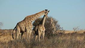 Feeding giraffes stock video footage