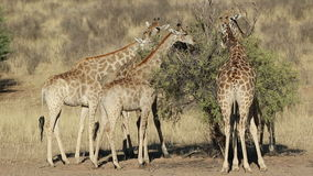 Feeding giraffes stock footage