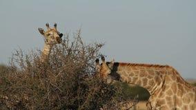 Feeding giraffes stock video