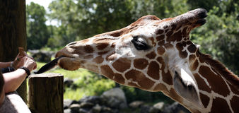 Feeding giraffes at the zoo Stock Photos
