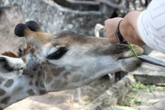 Feeding Giraffes Royalty Free Stock Photography