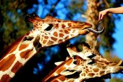 Feeding the giraffes Royalty Free Stock Image